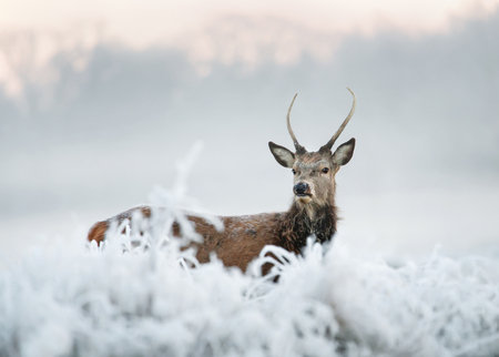 Young red deer stag standing in a field of frosted grass on a beautiful early winter morning. Animals in winter.