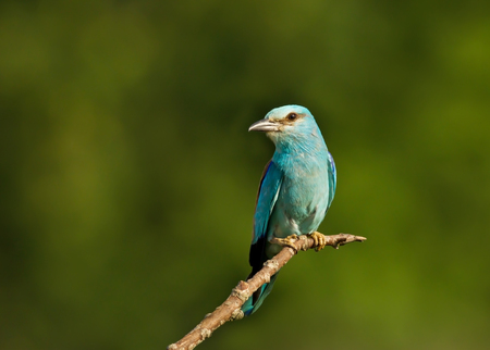 European roller perching against a green background on a sunny summer day in Bulgaria.