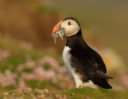 Close up of Atlantic puffin with the beak full of sand eels against colorful background, England.