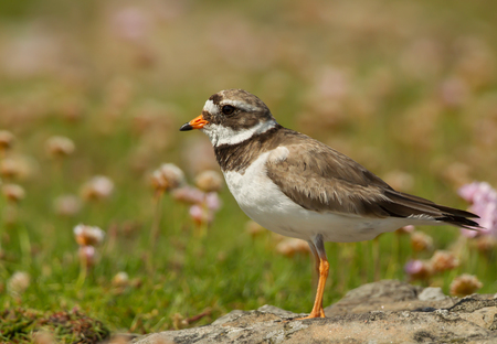 Ringed plover (Charadrius hiaticula) on a coastal area of Noss island, Scotland. Plover standing on a stone surrounded by pink thrift flowers.