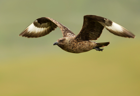 Great skua known as bonxie in flight against green background, Noss island, Scotland.