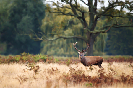 Red Deer stag standing under an old large tree during rutting season in autumn, UK. Stock Photo