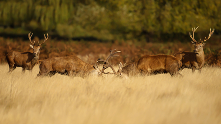 Two red deer stags fighting over dominance during rutting season on an early autumn morning. Stock Photo