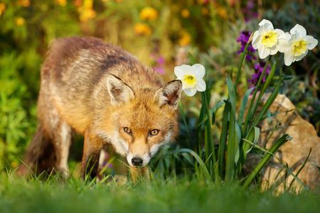 Portrait of cute red fox in the flower garden in spring, UK. Urban wildlife.