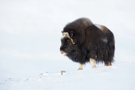 Musk ox standing in the snow in the mountains in winter, Norway. Stock Photo - 92068618