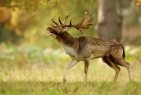 Damhirsch (Dama Dama), der während einer Brunftzeit im Herbst, Großbritannien brüllt. Standard-Bild