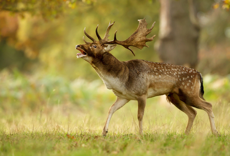 Fallow deer (Dama dama) stag bellowing during a rutting season in autumn, UK.