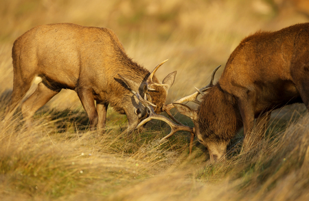 Two red deer stags fighting over dominance during rutting season on an early autumn morning while dew is still on yellow and brown grass.