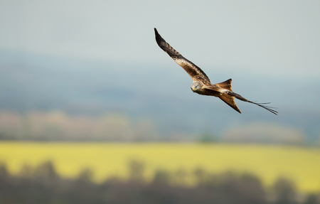 Red kite flying over yellow farmland fields in summer, Oxfordshire, UK. Foto de archivo