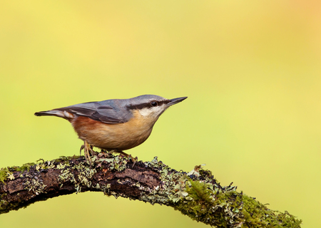 Eurasian Nuthatch (Sitta europaea) perching on a tree branch against green background. Banco de Imagens