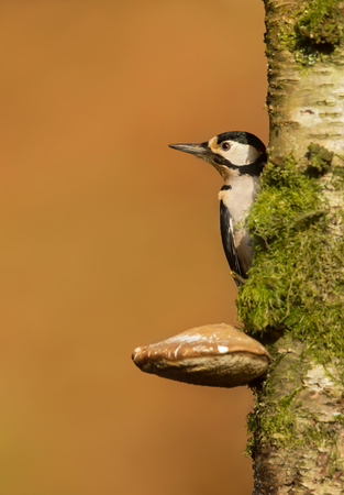 Great spotted woodpecker (Dendrocopos major) on a mossy tree trunk.