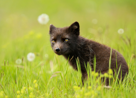 Blue morph arctic fox in the meadow of dandelions in late summer, Iceland. Stock Photo