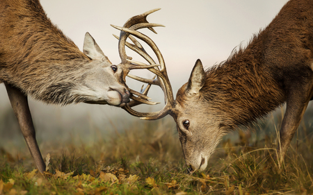 Two red deer stags fighting over dominance during rutting season on an early autumn morning. 版權商用圖片