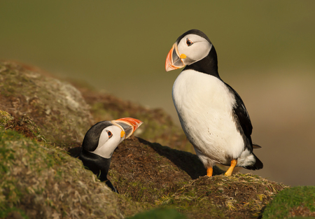 An interaction between two Atlantic puffins by the burrow during a breeding season in Shetland islands, Scotland. Stock Photo