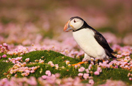 Atlantic puffin standing in the field of pink thrift flowers and holding fish in the beak for the chicks, Shetland islands, Scotland. 版權商用圖片