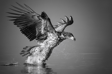 White-tailed Eagle catches the fish in black and white, Norway. Stock Photo