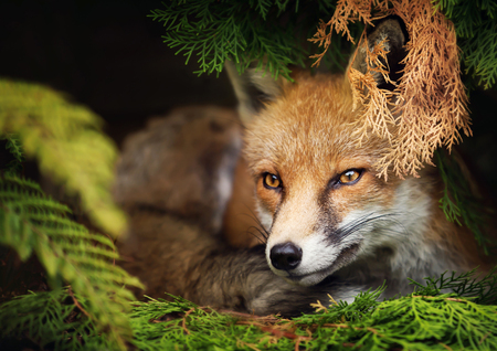Close up of young red fox lying under the tree, UK.