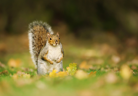 Eastern grey squirrel sitting on the autumnal leaves against a dark tree at the background. Stock Photo