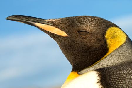 Close up of a king penguin against blue sky, Falkland islands. Stock Photo