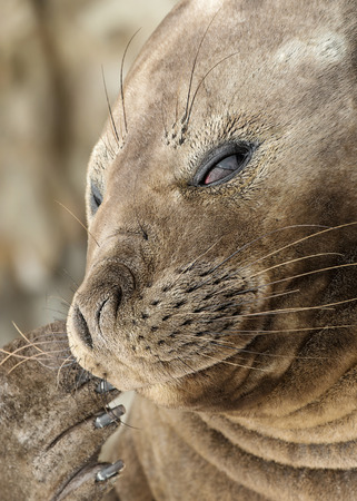 Close up of a Southern Elephant seal showing his flippers with nails, Falkland Islands.