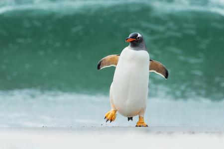 Pingwin Gentoo przybywający na brzeg przez duże fale na Falklandach. Zdjęcie Seryjne