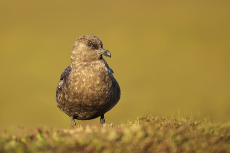 Close-up of Falkland Skua in the wetlands against green background on a sunny summer day, Falkland islands. Stock Photo