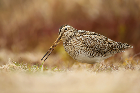 South American snipe feeding on the grass, Falkland Islands.