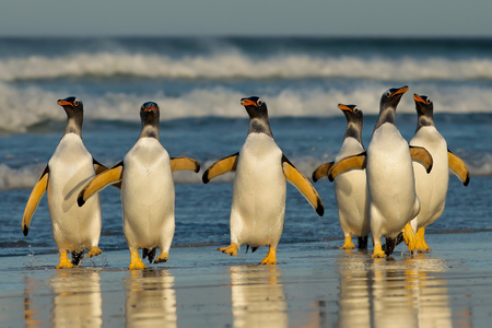 Group of Gentoo penguins coming back from sea, Falkland islands