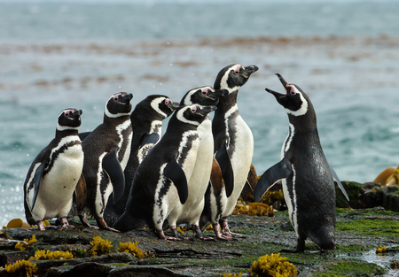 A group of Magellanic penguin gather on a rocky coast of Falkland islands. Penguin calling and displays his dominance.