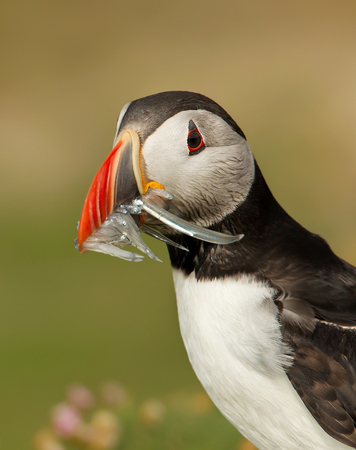 Close up of Atlantic Puffin with the beak full of sand eels in summer against colourful background, Scotland.