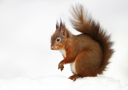Red squirrel sitting in the snow against white background, England. Stock Photo