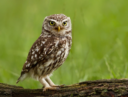 Little Owl (Athene noctua) perched on a tree log, UK.