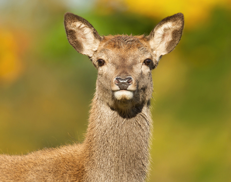 Red Deer hind close up portrait against green background, UK.