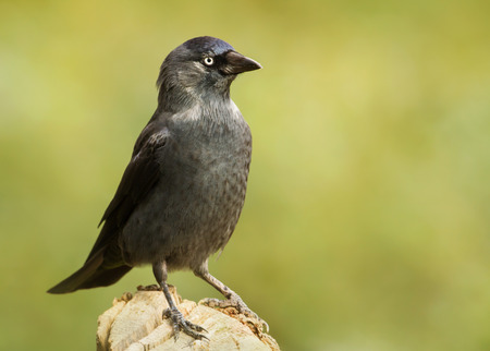 Close up of a Jackdaw perching on a post against green background.