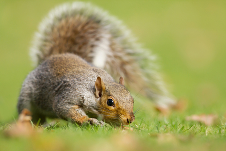 Close-up of curious gray squirrel in the field of grass, autumn in UK.