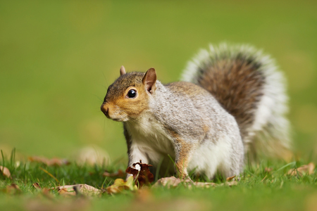 Eastern grey squirrel sitting on the autumnal leaves, UK. Stock Photo