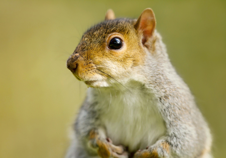 Close up of a grey squirrel against green background, UK. Stock Photo
