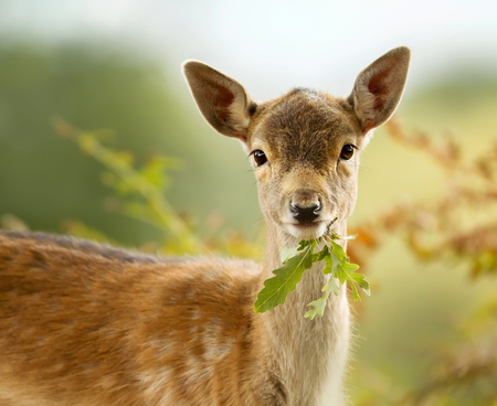 Fallow deer fawn eating a leaf, UK. 免版税图像