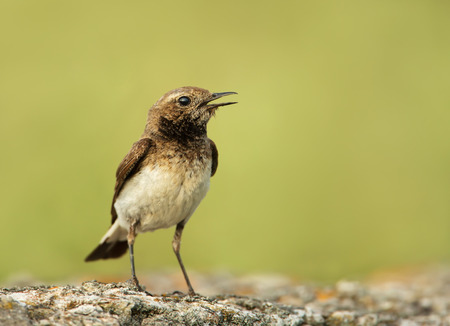 Close up of Juvenile Pied Wheatear (Oenanthe pleschanka) standing on a stone and calling, Bulgaria.
