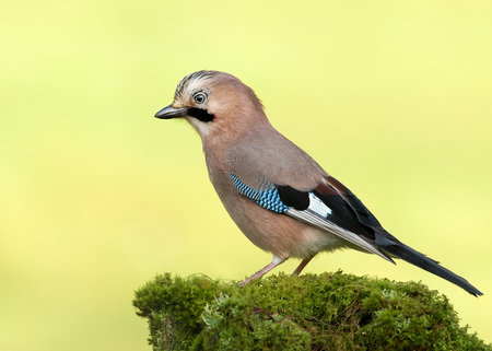 Eurasian Jay (Garrulus glandarius) perched on a mossy tree, Scotland.