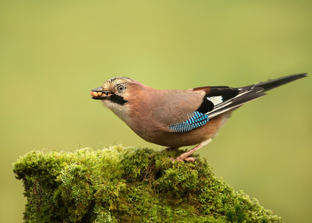 Eurasian Jay (Garrulus glandarius) perched on a mossy tree with a beak full of nuts, Scotland, UK.