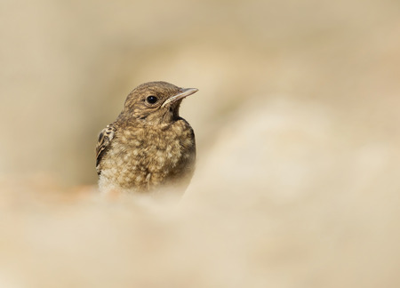 Close up of Juvenile Pied Wheatear (Oenanthe pleschanka), Bulgaria. Stock Photo