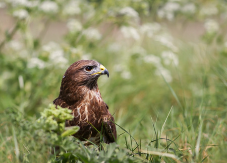 Close up of a Common Buzzard (Buteo buteo) in the meadow, UK.