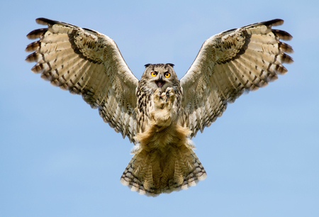 Eurasian Eagle Owl (Bubo bubo) in flight with a catch, UK.