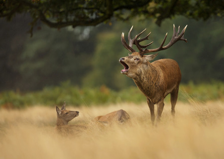 Red deer stag bellowing in the grass among a group of hinds, UK. Stock Photo
