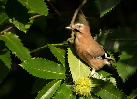 Jay perching in the tree. Natural habitat.