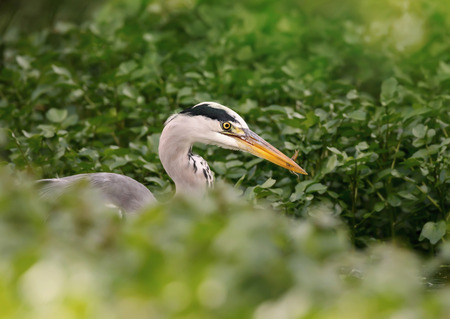 Close up of a Grey heron with a catch, UK.