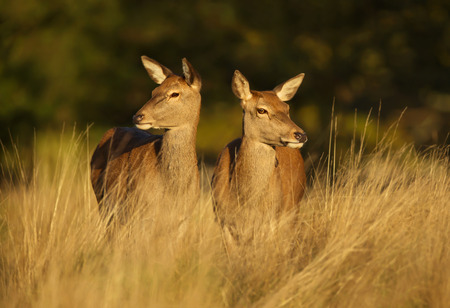 Two Red deer hinds standing in the field, autumn in UK.