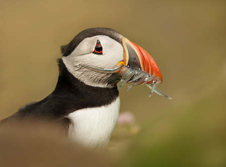Close-up of an Atlantic puffin with sand eels, UK. Stock Photo
