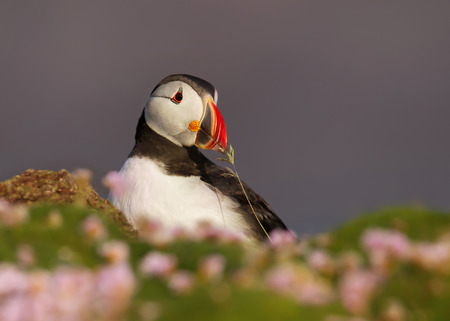 Close-up of Atlantic puffin with nesting material during mating season, Scotland, UK.
